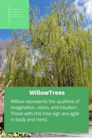 Willow birth tree and Celtic ogham sign