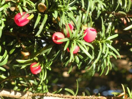 english yew leaves and aril