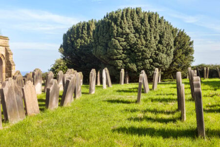 yew tree picture
